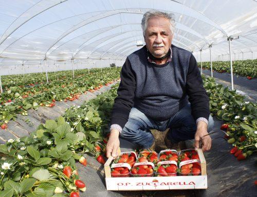 Fragole prodotte e commercializzate per 10 mesi l'anno grazie a tre tipologie di piante